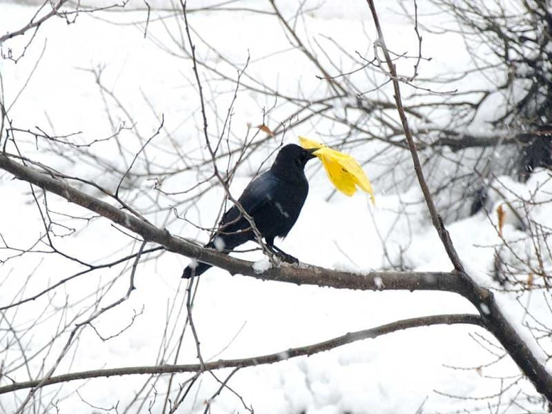 A crow holds a piece of yellow polythene in its beak on a snow covered area of the Bhaderwah valley, 200km from Jammu. AFP Photo