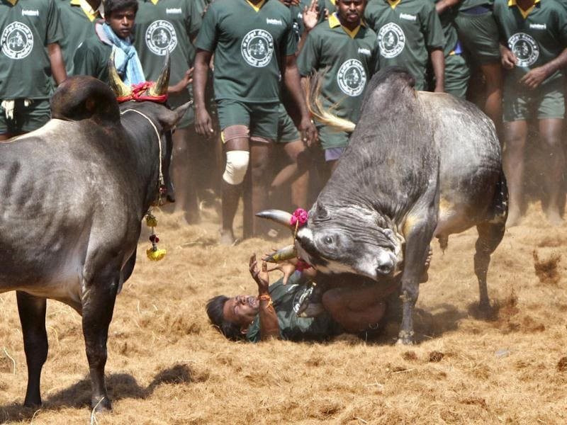 A villager is pinned down by a bull during a bull-taming festival on the outskirts of Madurai town, about 500 km (310 miles) from the southern Indian city of Chennai. The annual festival is part of south India's harvest festival of Pongal. Reuters/Babu