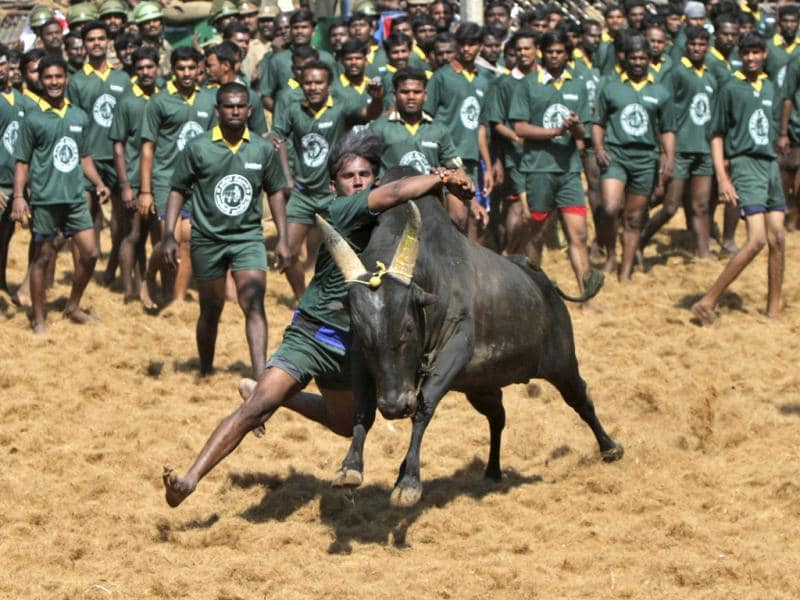 Villagers try to control a bull during a bull-taming festival on the outskirts of Madurai town, about 500 km (310 miles) from the southern Indian city of Chennai. The annual festival is part of south India's harvest festival of Pongal. Reuters/Babu