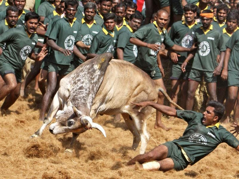 A villager tries to control a bull during a bull-taming festival on the outskirts of Madurai town, about 500 km (310 miles) from the southern Indian city of Chennai. The annual festival is part of south India's harvest festival of Pongal. Reuters/Babu