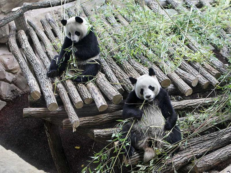 Viewed through a glass panel, male panda Yuan Zia, right, and female Panda Huan Huan, eat bamboo at the Zoo Parc de Beauval in Saint-Aignan, central France. The pair of giant pandas arrived in France from a Chinese reserve and are scheduled to spend 10-years in the Parc de Beauval, where they hope the pair will reproduce and help boost the world's dwindling panda population. AP Photo/Michel Euler