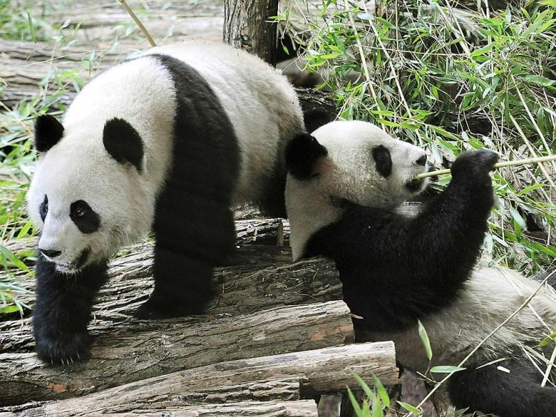 Huan Huan and Yuan Zia, two Chinese pandas are seen in their enclosure at Beauval zoo in Saint-Aignan central-western France. The animals left their breeding centre in southwestern China for a 10-year stay in France, on a loan sealed after years of top-level negotiations. AFP photo /Alain Jocard