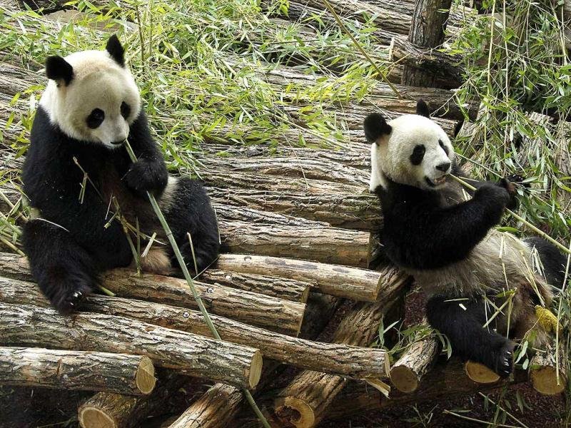 Giant pandas Yuan Zia and Huan Huan relax inside their enclosure at the ZooParc de Beauval in Saint-Aignan, central France. Reuters photo/Benoit Tessier