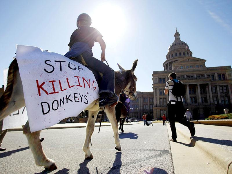 Jennifer Garretson of Waco rides a donkey to help deliver a petition with 100,000 signatures asking Gov. Rick Perry to stop Texas Parks and Wildlife from hunting wild burros in Big Bend Ranch State Park in Austin, Texas. The state agency considers the 300 wild donkeys that live in the park to be a destructive invader, but the Wild Burro Protection League considers the burros a heritage species because it played such an important role in human settlement of the area. AP Photo/Eric Gay