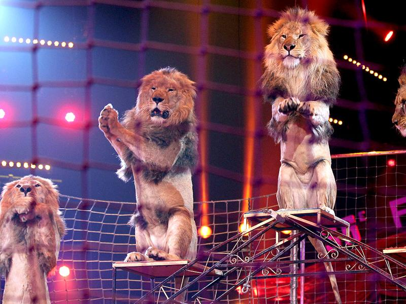 Lions of Vladislav Goncharov perform during the awards ceremony for the 36th Monte-Carlo International Circus Festival in Monaco. The International Circus Festival will take place from January 19 to January 29, 2012. AFP Photo/Valery Hache