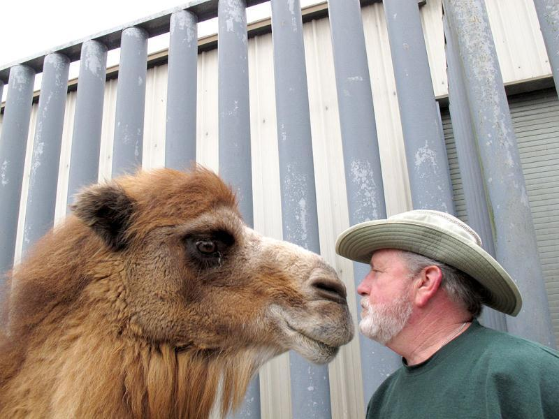 Princess, a Bactrian camel famous for her ability to correctly predict the winner of football games, nuzzles with John Bergmann, general manager of Popcorn Park Zoo in Lacey Township, NJ, one day after Princess picked the New York Giants to beat the New England Patriots in the Super Bowl. AP