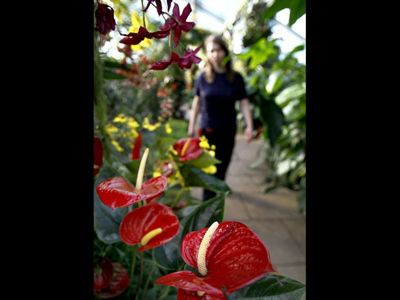 Anthuriums grow at the Tropical Extravaganza festival at Kew Gardens in London. AP/Kirsty Wigglesworth