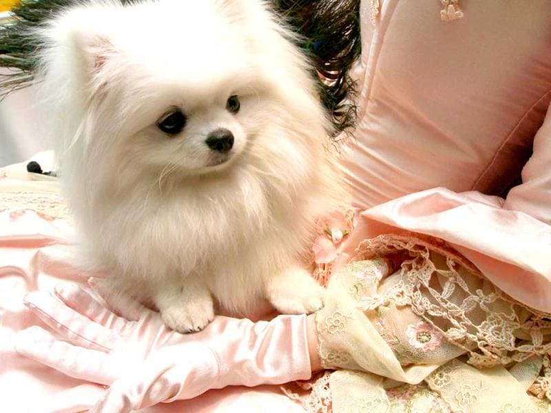 Sitting in the lap of her costumed owner Gena Oddo, of Carriere, Sophia Oddo, a white pomeranian, attends the 2012 Pre-Westminster Fashion Show in New York. AP/Tina Fineberg