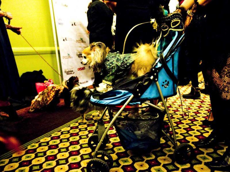 A dog rides in a stroller at the pre-Westminster Fashion Show at Hotel Pennsylvania ahead of next week's Westminster Kennel Club Dog Show in New York City. AFP/Michael Nagle