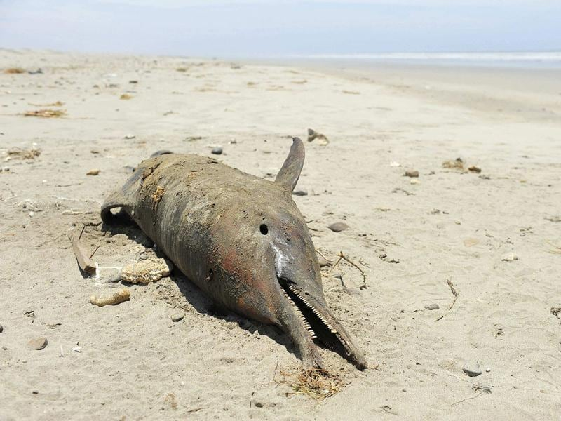 A dolphin is seen dead on the shore of a beach in Lambayeque, Peru. At least 17 dolphins were found dead, suspected of being hunted on by fishermen, according to veterinarian Carlos Yaipen of the Research and Conservation of Aquatic Animals (ORCA). (Reuters)