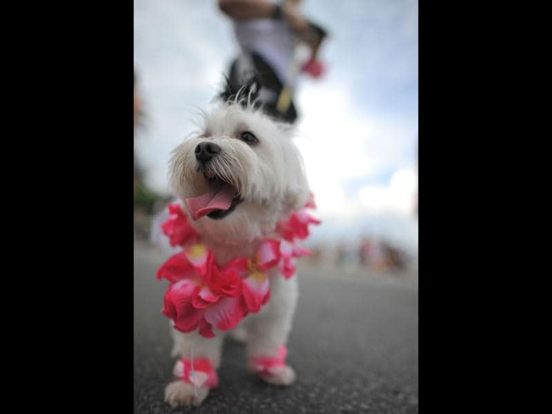 A fancy dressed dog takes part in the animal carnival parade at Copacabana beach in Rio de Janeiro, Brazil. AFP photo/Christophe Simon
