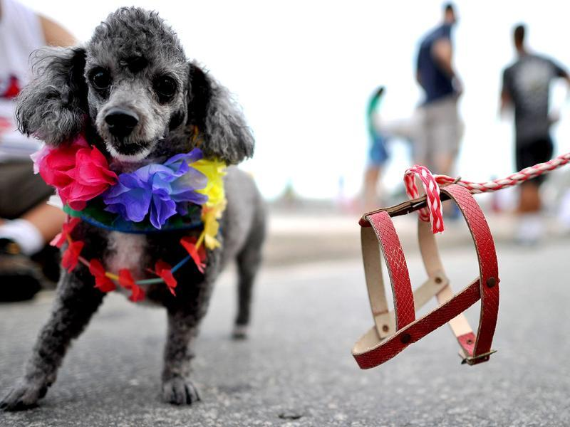 A dog with colourful flowers around its neck takes part in the animal carnival parade at Copacabana beach in Rio de Janeiro, Brazil. AFP photo/Christophe Simon