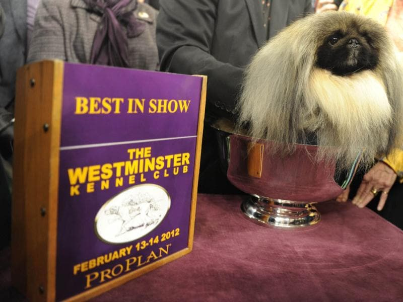 Malachy, a Pekingese, after winning Best in Show during the 136th Westminster Kennel Club Annual Dog Show held at Madison Square Garden. AFP Photo/ Timothy A Clary