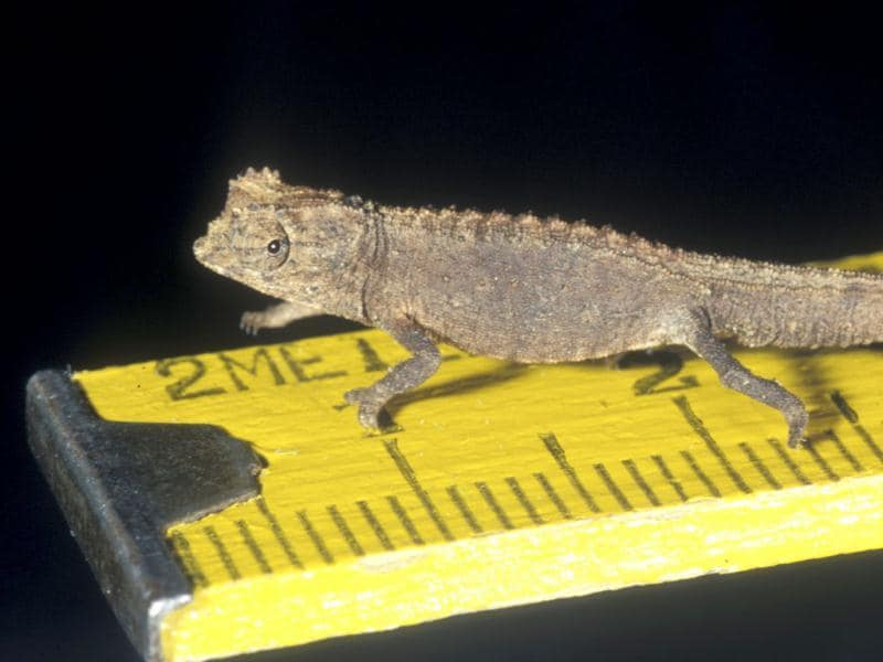 The lizard, with a 16-millimetre body, measures 29 millimetres with its tail full extended. (Reuters)