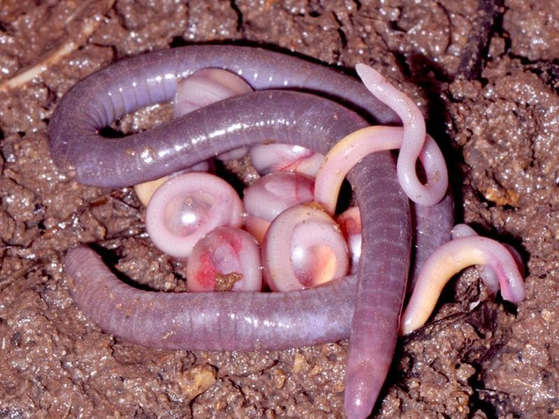 Chikila sp., tailless burrowing caecilians: a mother with her egg clutch and hatchlings.