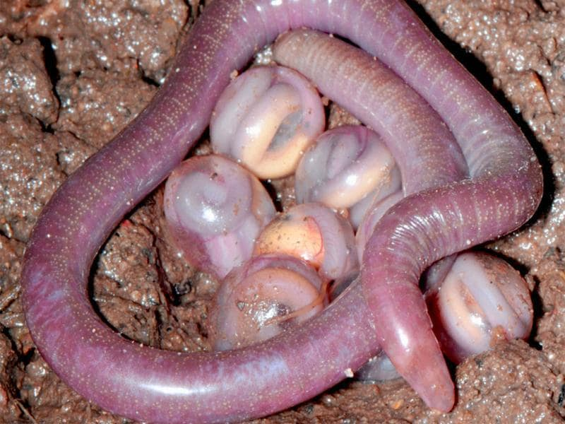 Chikila sp., tailless burrowing caecilians: a mother brooding her egg clutch.