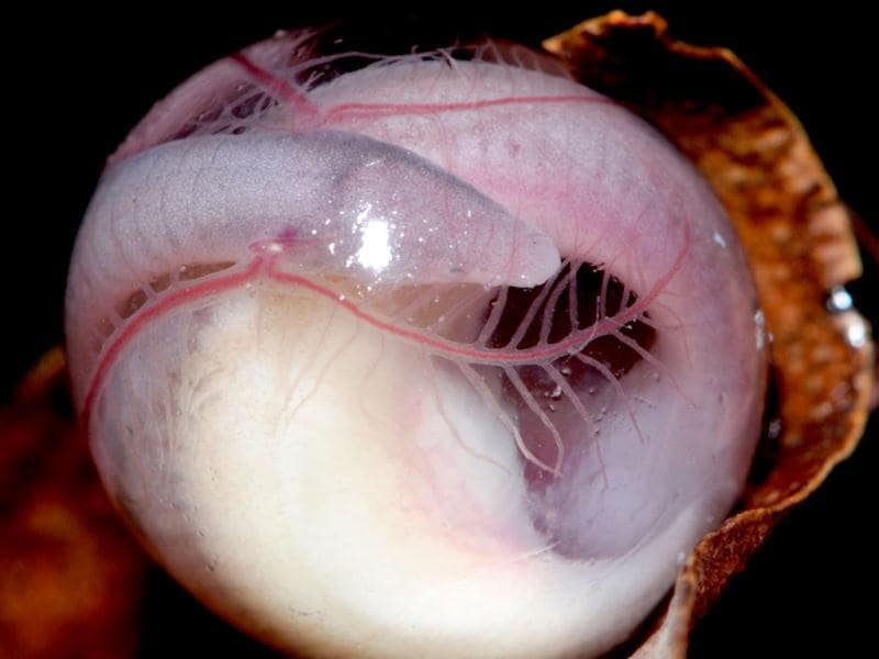 An embryo of Chikila sp. an egg-laying and direct developing caecilian endemic to northeast India.