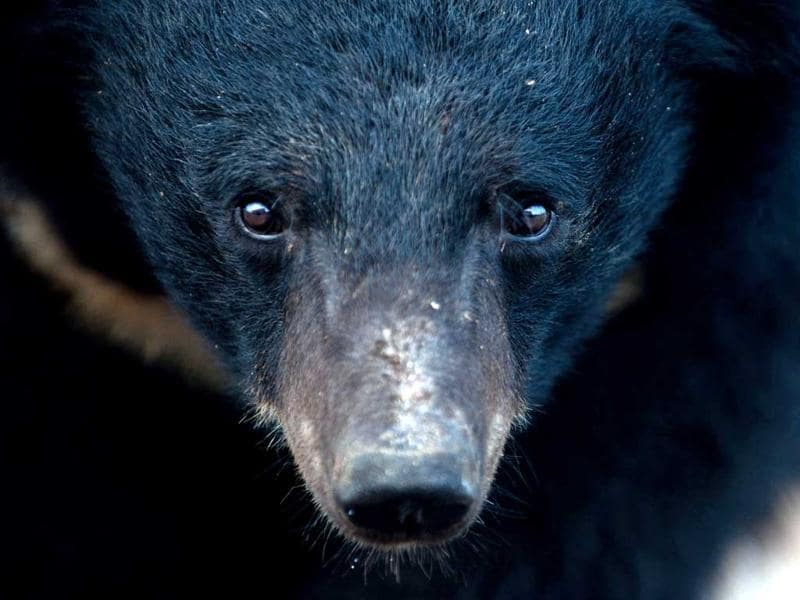 A bear is seen at one of the traditional Chinese medicine company Guizhentang's controversial bear bile farms in Hui'an, southeast China's Fujian province. Bear bile has long been used in China to treat various health problems, despite skepticism over its effectiveness and outrage over the bile extraction process, which animal rights group say is excruciatingly painful for bears. AFP Photo