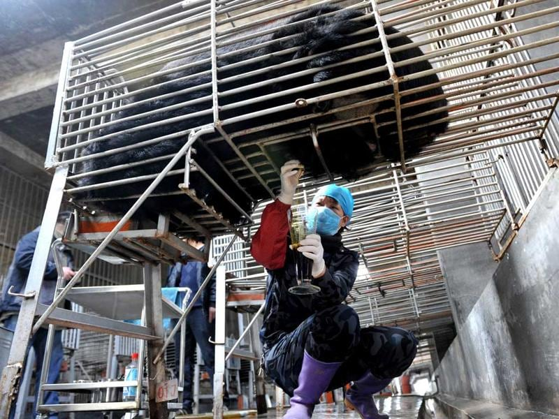 Chinese workers collect bear bile, at one of the traditional Chinese medicine company Guizhentang's controversial bear bile farms in Hui'an, southeast China's Fujian province. (AFP Photo)