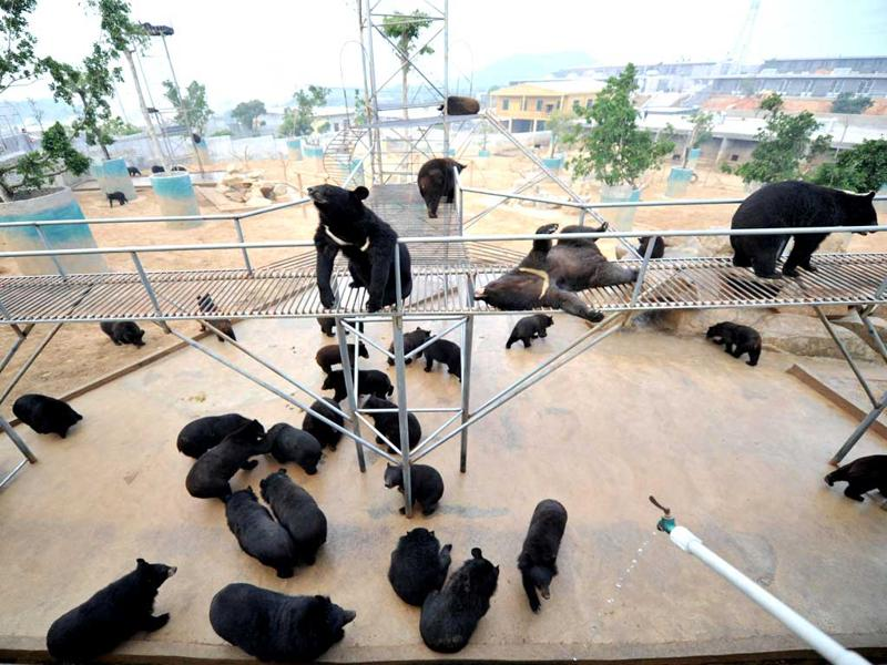 Bears are seen at one of the traditional Chinese medicine company Guizhentang's controversial bear bile farms in Hui'an, southeast China's Fujian province. Bear bile has long been used in China to treat various health problems, despite skepticism over its effectiveness and outrage over the bile extraction process, which animal rights group say is excruciatingly painful for bears. AFP Photo
