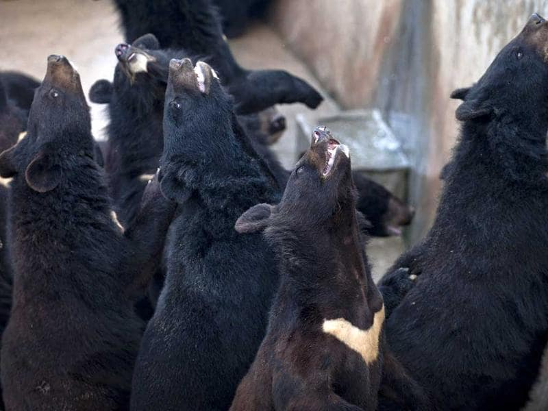 Bears wait to be fed at the bear farm of Guizhentang pharmaceutical company in southeast China's Fujian province. AP Photo