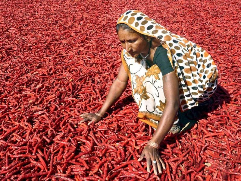 A woman is seen drying up red chillies at Shertha village, on the outskirts of Ahmedabad. (PTI Photo)