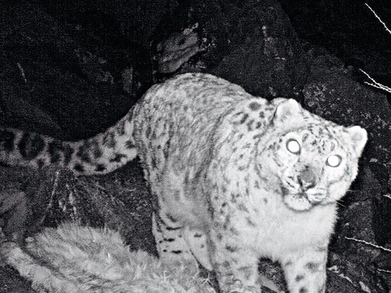 One of the snow leopards captured using infrared camera traps in Kargil along the LoC. Photo courtesy WWF-India