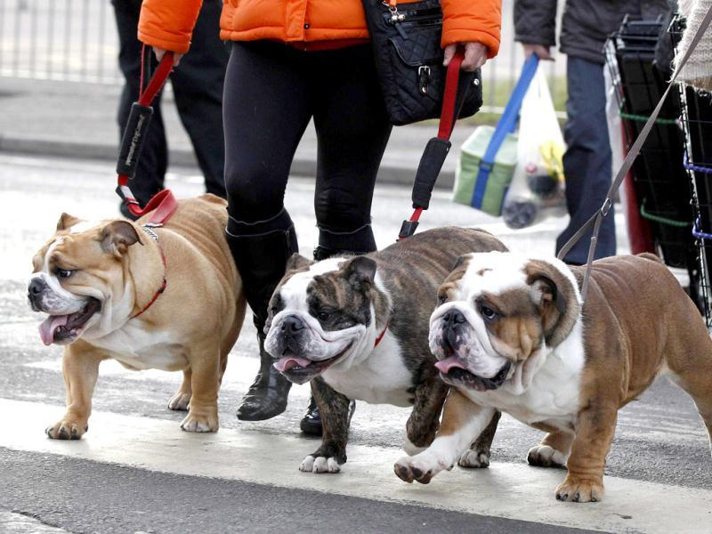 British Bulldogs arrive on the first day of the Crufts dog show in Birmingham, central England. Reuters/Phil Noble