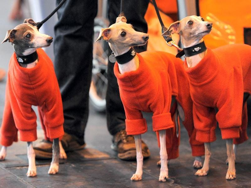 Italian Greyhounds arrive on the first day of the Crufts dog show in Birmingham, in central England. The annual event sees dog breeders from around the world compete in a number of competitions with one dog going on to win the