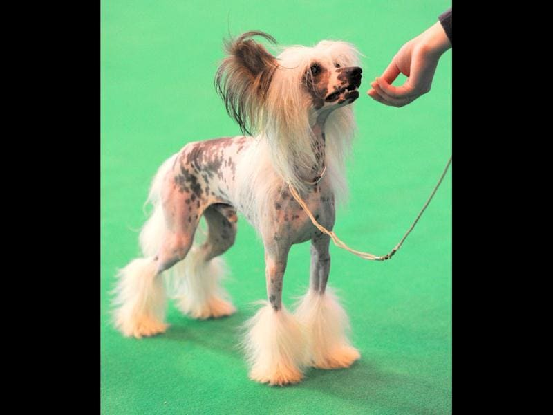 A Chinese Crested dog performs at the Crufts dog show in Birmingham, in central England. The annual event sees dog breeders from around the world compete in a number of competitions with one dog going on to win the