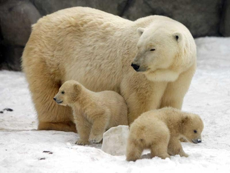A mother bear plays with two of her three polar bear cubs born in November last year, at the Moscow Zoo, in Moscow. The cubs have only recently been revealed to the public as they have mostly stayed in the seclusion of their den. AP Photo/Alexander Zemlianichenko