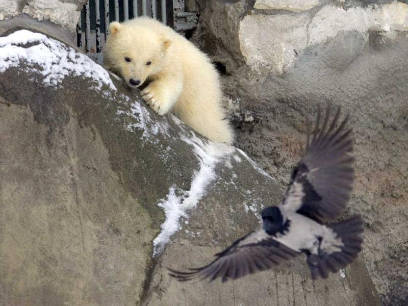 One of three polar bear cubs born in November last year, tries to hunt at the Moscow Zoo. AP Photo/Alexander Zemlianichenko