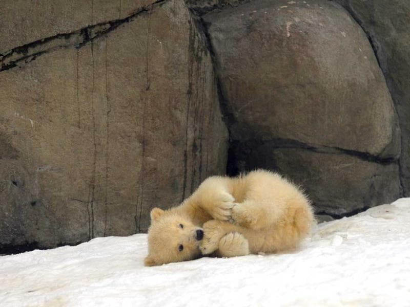 One of three polar bear cubs born in November last year, plays on snow at the Moscow Zoo. AP Photo/Alexander Zemlianichenko