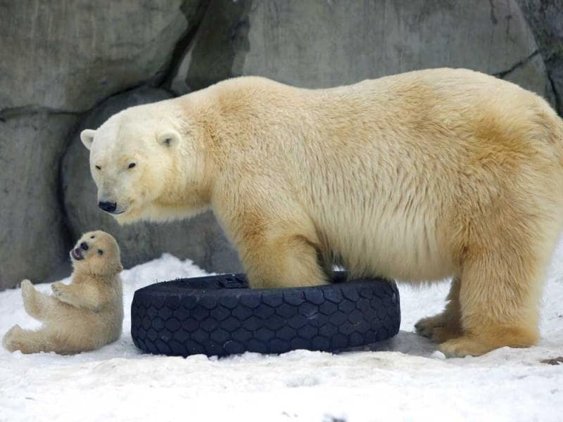 A mother bear plays with one of three polar bear cubs born in November last year, at the Moscow Zoo, in Moscow. AP Photo/Alexander Zemlianichenko