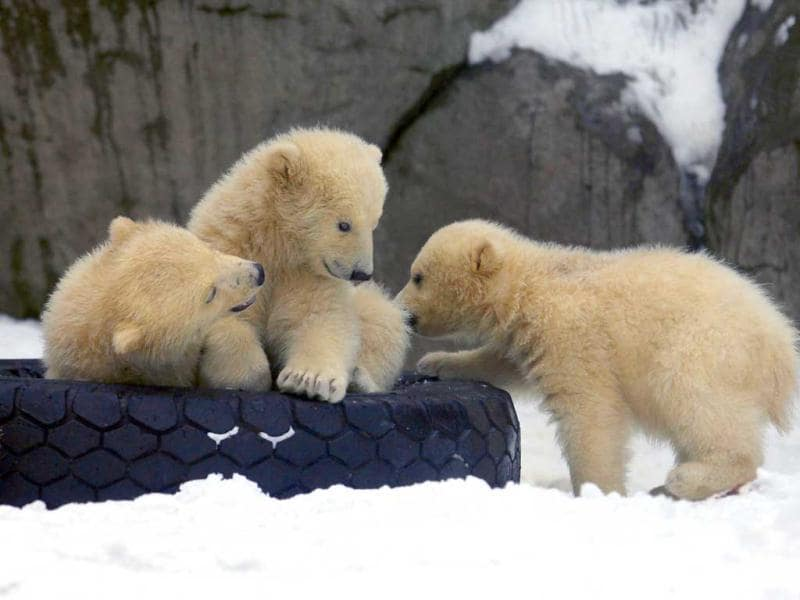 Three polar bear cubs born in November last year, play on snow at the Moscow Zoo. AP Photo/Alexander Zemlianichenko