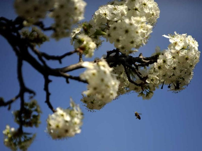A bee flies around pear tree blossoms. The driveway to the Frontier Culture Museum in Staunton is now lined with white blooming pear trees. AP/Pat Jarrett