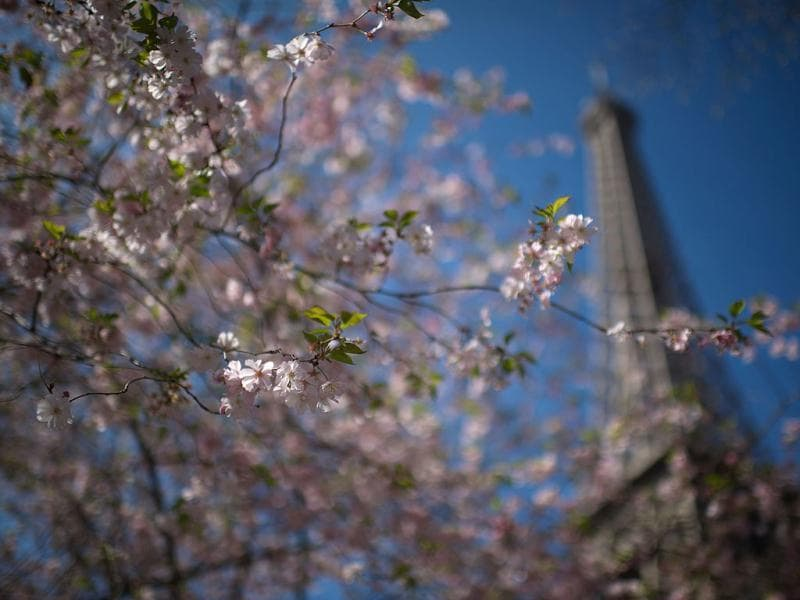 Cherry trees at the famous Eiffel Tower in Paris. AFP Photo/Martin Bureau
