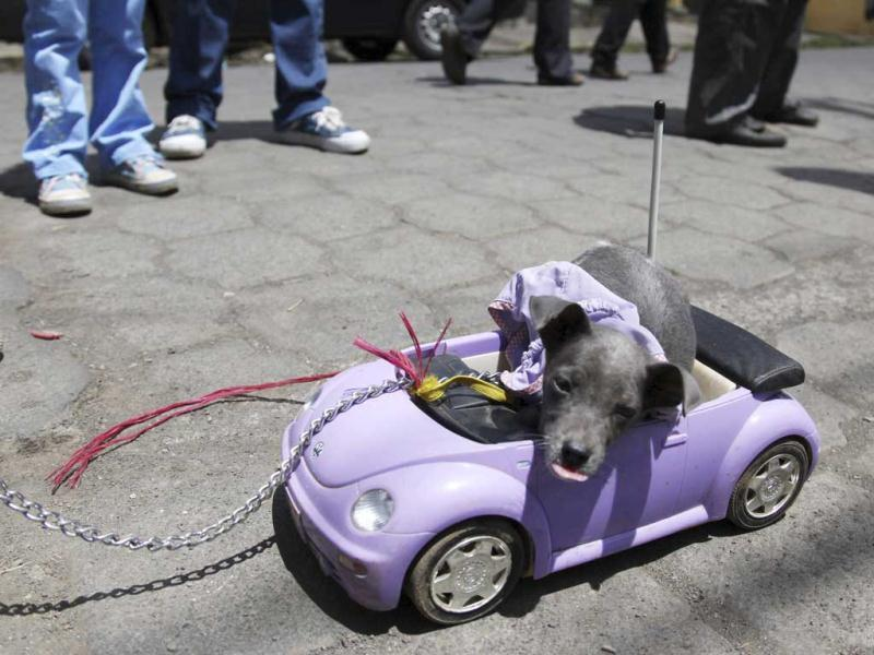 A puppy rides a Volkswagen Beetle toy during a mass in honour of Saint Lazaro in the indigenous community at Masaya city, about 15 miles (24 km) south from Managua. Hundreds of devotees presented their sick animals to the Saint Lazaro, considered the saint patron of dogs. REUTERS/Diana Ulloa