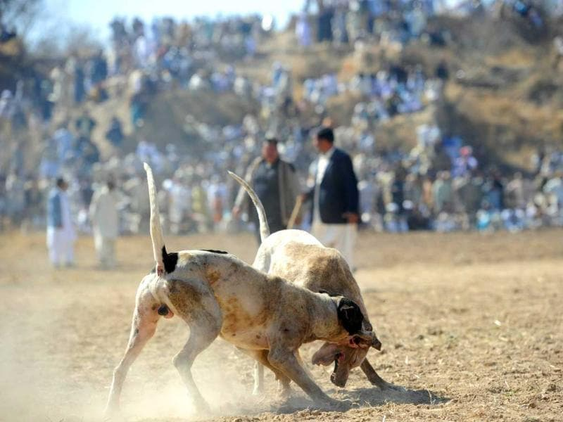 Dogs lunge at each other as spectators watch the dog-fighting match in Tangdhe Sayedan, a village in the breadbasket province of Punjab, 110 kilometres east of Islamabad. AFP/Aamir Qureshi