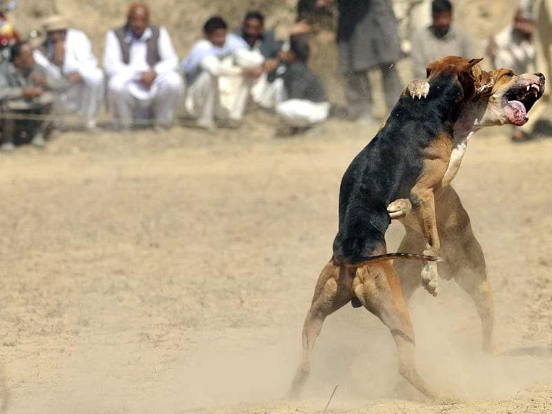 Fighting dogs lunge at each other during a match in Tangdhe Sayedan, 110 kilometres east of Islamabad. AFP/Aamir Qureshi