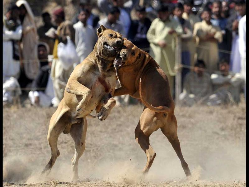 Dogs lunge at each other during dog fighting match in Tangdhe Sayedan, a village 110 kilometres east of Islamabad. AFP/Aamir Qureshi
