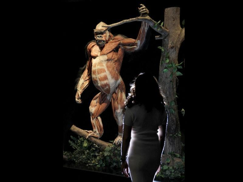A employee poses next to a plastinated gorilla during the media viewing for the exhibition