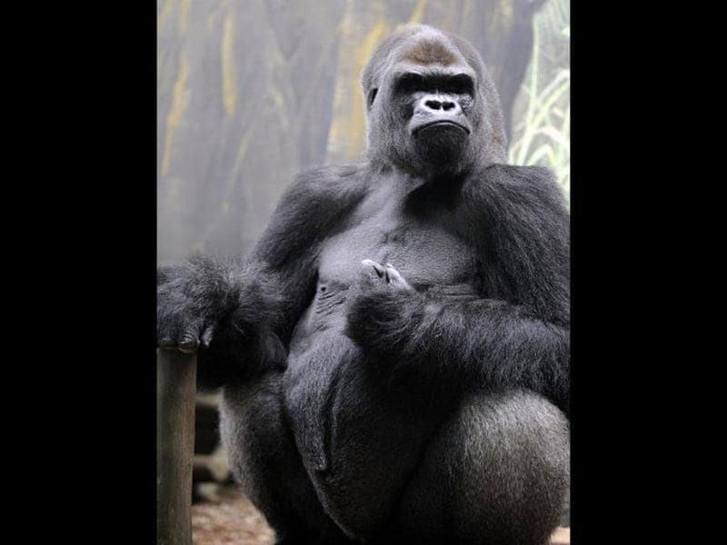 Ya Kwanza, a silverback gorilla male, sits in its enclosure