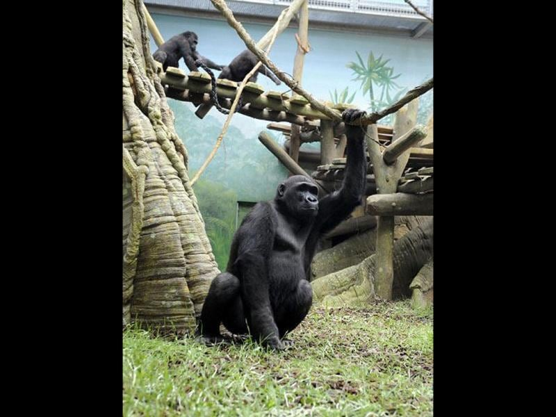 A gorilla male sits in the enclosure