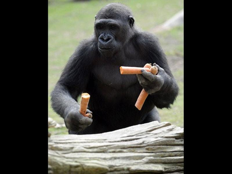 A gorilla male holds carrots in the enclosure