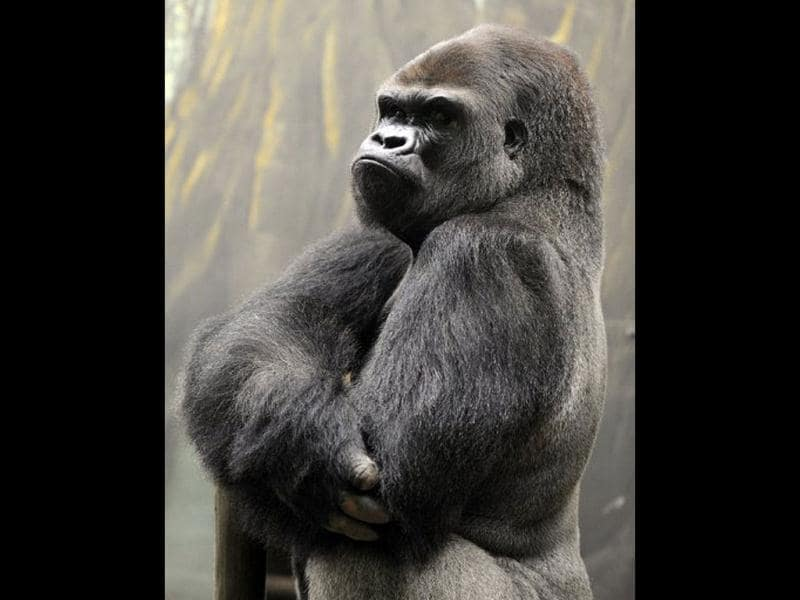 Ya Kwanza, a silverback gorilla male, stands in its enclosure