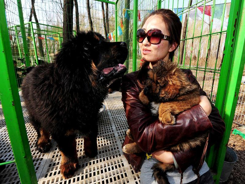 This photo shows pedigree Tibetan mastiff dogs on display at a dog show in the town of Daxing near Beijing. The animals which have now become the world's most expensive are much prized in China where owning one is seen as a status symbol and a coal baron in northern China recently purchased one for ten million yuan (about 1,500,000 $). AFP PHOTO/Mark RALSTON