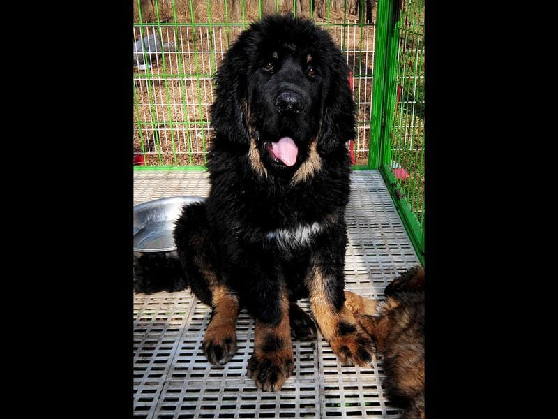 This photo taken shows pedigree Tibetan mastiff dogs on display at a dog show in the town of Daxing near Beijing. The animals which have now become the world's most expensive are much prized in China where owning one is seen as a status symbol and a coal baron in northern China recently purchased one for ten million yuan (about 1,500,000 $). AFP PHOTO/Mark RALSTON