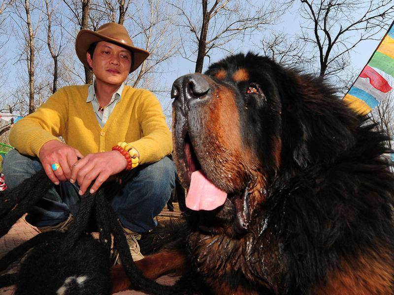 This photo shows a pedigree Tibetan mastiff dog on display at a dog show in the town of Daxing near Beijing. The animals which have now become the world's most expensive are much prized in China where owning one is seen as a status symbol and a coal baron in northern China recently purchased one for ten million yuan (about 1,500,000 $). AFP PHOTO/Mark RALSTON
