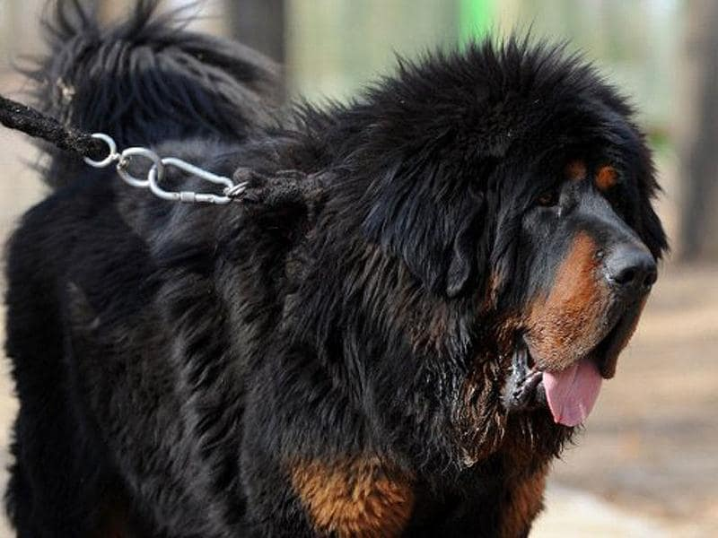 This photo shows a pedigree Tibetan mastiff dog which the owner values at over 1 million $, on display at a dog show in the town of Daxing near Beijing. The animals which have now become the world's most expensive are much prized in China where owning one is seen as a status symbol and a coal baron in northern China recently purchased one for ten million yuan (about 1,500,000 $). AFP PHOTO/Mark RALSTON